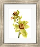 Pale Orchid Fine Art Print