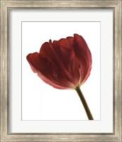 Red Tulip Fine Art Print