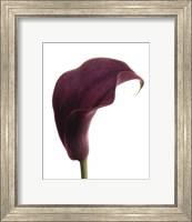 Purple Calla Lily Fine Art Print