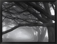 Cypresses, Skyline Drive, South San Francisco, 1996 Fine Art Print