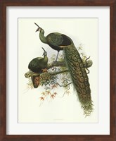 Pavo Muticus Fine Art Print