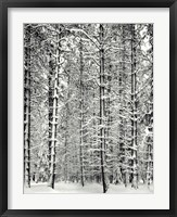 Pine Forest In The Snow, Yosemite Nation Fine Art Print