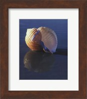 Tun Shell Fine Art Print