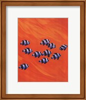 10 Black-Tailed Humbugs Fine Art Print