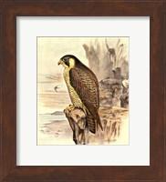 Peregrine Falcon Fine Art Print