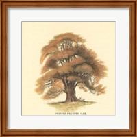 Sessile-Fruited Oak Fine Art Print