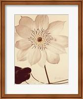 White Clematis Fine Art Print