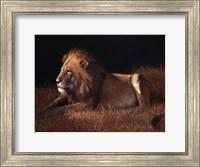 Lying Lion Fine Art Print