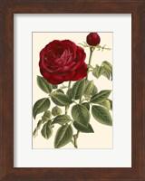 Magnificent Rose IV Fine Art Print