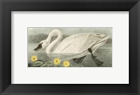 American Swan Fine Art Print