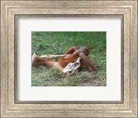 Orangutan - Stretchin out Fine Art Print