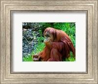 Orangutan - Giving it some thought Fine Art Print