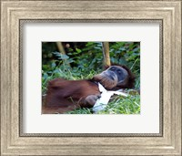 Orangutan - Just about to take a nap Fine Art Print