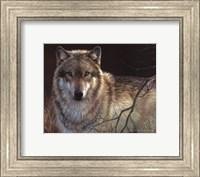 Uninterrupted Stare- Gray Wolf Fine Art Print