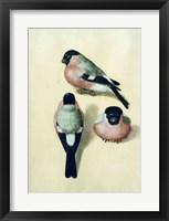 Three studies of a bullfinch Fine Art Print