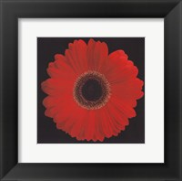 Gerbera Daisy Red Fine Art Print