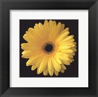 Gerbera Daisy Yellow Fine Art Print