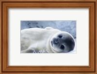 Baby Seal Fine Art Print