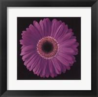 Gerbera Daisy Purple Fine Art Print