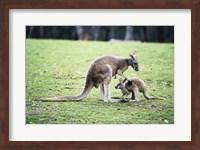 Red Kangaroos Fine Art Print