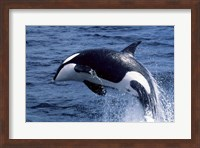 Killer Whale Orcinus Orca Atlantic Ocean Fine Art Print
