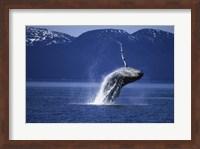 Humpback Whale  Alaska  USA Fine Art Print