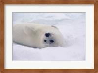 White Harp Seal Fine Art Print