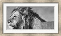 Lion Eyes Fine Art Print