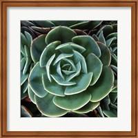 Echeveria I Fine Art Print