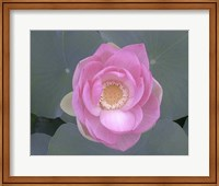 Blushing Lotus I Fine Art Print