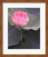 Blushing Lotus II Fine Art Print