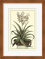 Antique Munting Aloe III Fine Art Print