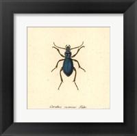 Carabus Cyaneus Fine Art Print