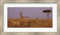 View of two Cheetahs in the wild, Africa Fine Art Print