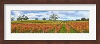 Autumn color vineyards, Guerneville Road, Sonoma County, California, USA Fine Art Print