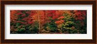 Fall Maple Trees Fine Art Print