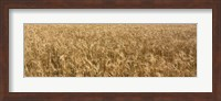 Wheat crop in a field, Otter Tail County, Minnesota, USA Fine Art Print