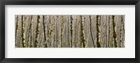 Trees in the forest, Red Alder Tree, Olympic National Park, Washington State, USA Fine Art Print