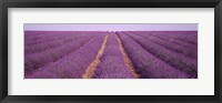 France, View of rows of blossoms in a field Fine Art Print