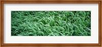 High angle view of grass, Montana, USA Fine Art Print