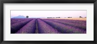 Lavender Field, Plateau De Valensole, France Fine Art Print