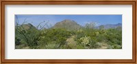 Ocotillo Plants In A Park, Big Bend National Park, Texas, USA Fine Art Print