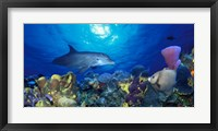 Bottle-Nosed dolphin (Tursiops truncatus) and Gray angelfish (Pomacanthus arcuatus) on coral reef in the sea Fine Art Print