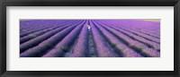 Fields of lavender, Provence-Alpes-Cote d'Azur, France Fine Art Print