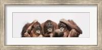 Close-up of three orangutans Fine Art Print