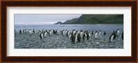 Colony of King Penguins, South Georgia Island, Antarctica Fine Art Print