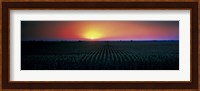 Corn field at sunrise Sacramento Co CA USA Fine Art Print