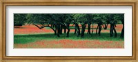 Indian Paintbrushes And Scattered Oaks, Texas Hill Co, Texas, USA Fine Art Print