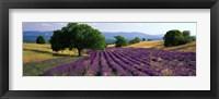 Flowers In Field, Lavender Field, La Drome Provence, France Fine Art Print