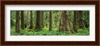 Trees in a rainforest, Hoh Rainforest, Olympic National Park, Washington State, USA Fine Art Print
